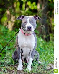 blue pitbull terrier. Contemporary Blue Download Blue American Pitbull Terrier Dog Stock Image  Of Walton  Animal 96412883 Throughout