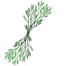 Seaweed Coloring Page - Clip Art Library