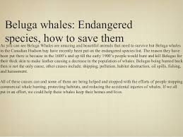 essay power point 4 beluga whales endangered species