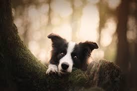 Baby Animal Border Collie Dog Pet Puppy ...