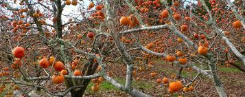 185 Best Fruit Plants U0026 Trees Images On Pinterest  Fruit Plants Lotus Fruit Tree
