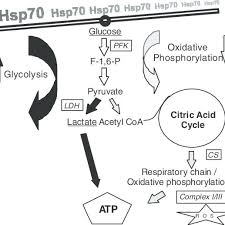 Simplified Flow Chart Of Hsp70 Impact On Atp Generation