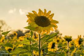 Sonnenblume Tumblr