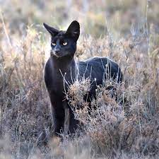black serval cat Online Shopping -