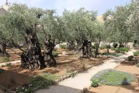 for all the disappointment the mount of olives was the garden of gethsemane was everything i had hoped it would be the garden is located at the base of