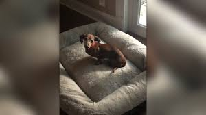 Aspyn Needs a Large Bladder Stone Removed & a Major Dental by Florida  Dachshund Rescue