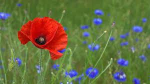 Poppy Blossom Bloom Free Photo On Pixabay