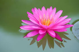 Lotus Flower Meaning And Significance All Over The World