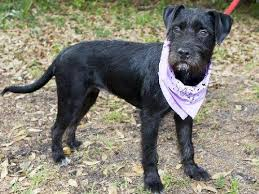 black terrier mix.  Terrier What Is The Temperament Of A Labrador Terrier Mix Would They Make Good  Family Dog Do Have High Health Risks  Quora On Black Terrier Mix D