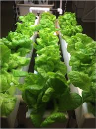 i started arugula seeds just after the lettuce went in the hydro system the day i harvested the lettuces i cleaned the entire system with hydrogen