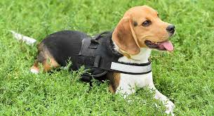 Petlove Dog Harness Size Chart Best Walking Harness For Beagles To Keep Your Pup Safe