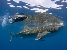swim sharks outdoors and adventure vacations travel swimming sharks
