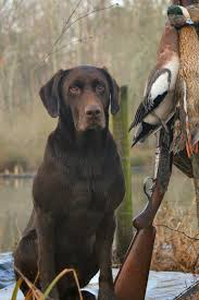 chocolate lab duck. Beautiful Duck RoddyDog From Blowing Springs Kennel With Chocolate Lab Duck I