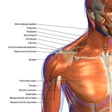 Neck Muscle Chart Labeled Anatomy Chart Of Neck 1