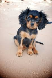 cavalier king charles spaniel black and tan puppy. Simple Cavalier I Would HIGHLY Recommend Pleasant Valley Cavaliers To Anyone Looking For An  Additional Furry Family Member  For Cavalier King Charles Spaniel Black And Tan Puppy V