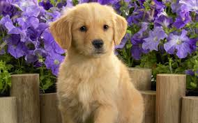Cute Wallpaper Summer Golden Retriever ...