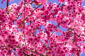 Pink Cherry Blossoms Background Stock Photo