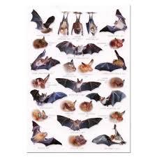 Bat Species Chart
