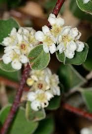 Cotoneaster nummularius - Wikipedia