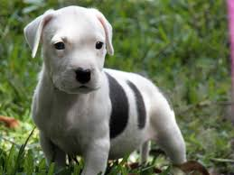 pitbull dog puppies. Interesting Pitbull White Pitbull Puppies Stands On Grass Inside Dog