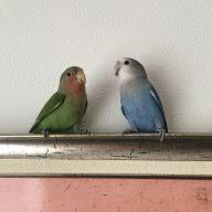 How Loud Is Your Bird Avian Avenue Parrot Forum