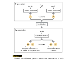 Genetic Recombination And Gene Mapping Learn Science At