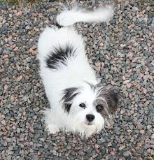 black and white terrier mix.  Terrier Free Photo Of A Gray And White Terrier Dog To Black And White Terrier Mix
