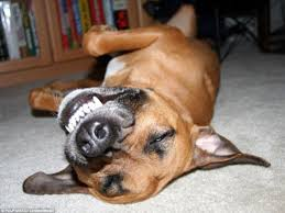 תוצאת תמונה עבור laughing dog