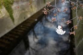 Japan nature branch spring Leica Tokyo Jp tree autumn leaf flower plant  season cherry sakura flora