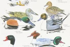 British Garden Birds Chart Bird Book Shop Bird Spot