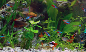 Tetras & Guppies in a peaceful community tank