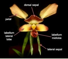 Multiple Choice Questions on Plant Taxonomy   MCQ Biology     MCQ Biology Labellum in Orchid