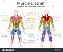 muscle diagram most important muscles athletic stock vector Male Plug Diagram muscle diagram most important muscles of an athletic male body anterior and posterior view 110 male plug wiring diagram