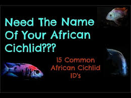 Dont Know What Type Of African Cichlid You Have 15 Common Ids