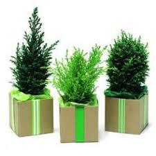 Camelia  FLORESPLANTASJARDINES  PinterestChristmas Gift Plants