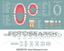Tooth Chart For Losing Teeth Tooth Anatomy Chart Orthodontist Human Teeth Loss Diagram