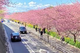 三浦 河津 桜