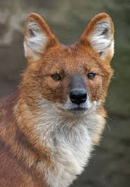 Small Picture 29 best Dhole Indian Wild Dog images on Pinterest Wild dogs