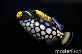 clown triggerfish. Beautiful Triggerfish Clown Triggerfish Triggerfish Intended