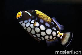 clown triggerfish. Beautiful Triggerfish Clown Triggerfish Triggerfish Intended