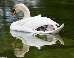 Image result for pictures of animals under mother's wings
