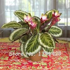 20 Pcs Very Rare Thailand Calathea Flower Seeds, Holiday Peacock Plant, Low  Light, High Humidity, Easy to Grow, garden ornaments-in Bonsai from Home ...