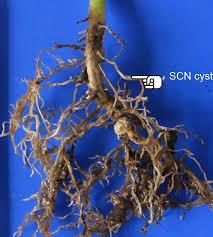 Understanding The Relationship Between Soybean Cyst Nematode