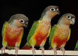 Mutation Colors Of Green Cheeked Conures