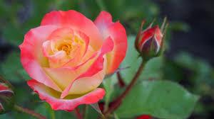 desktop wallpaper beautiful rose