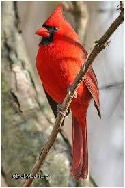 Le Cardinal rouge (Cardinalis cardinalis) est une espèce de passereaux d'Amérique du Nord de la famille des Cardinalidae. Il doit son nom à la couleur rouge du plumage du mâle qui rappelle les vêtements rouges des cardinaux catholiques. Il est présent au sud du Canada, dans l'est des États-Unis (du Maine au Texas), au Mexique, et au nord du Guatemala et du Belize. Il fréquente les bois, les jardins et les marais.