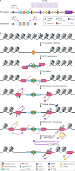 Nascent Rna Analyses Tracking Transcription And Its Regulation