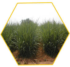 Sugarcane Fertilizer Chart Expert System For Sugarcane