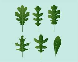 Oak Tree Comparison Chart Identify Oak Leaves Oak Leaf Identification Oak Tree