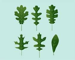 Oak Tree Size Chart Identify Oak Leaves Oak Leaf Identification Oak Tree